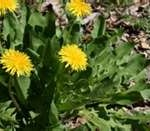 """Dandelion and their health benefits"""