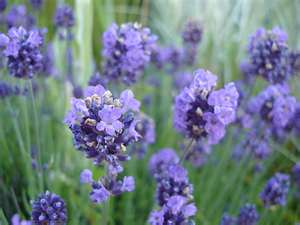 """Lavendar the Healing Plant"""