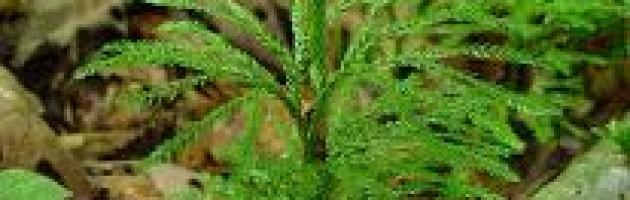 lycopodium plant