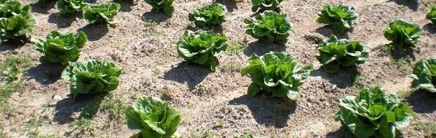 Vegetable_garden_at_Colonial_Williamsburg_-_Stierch