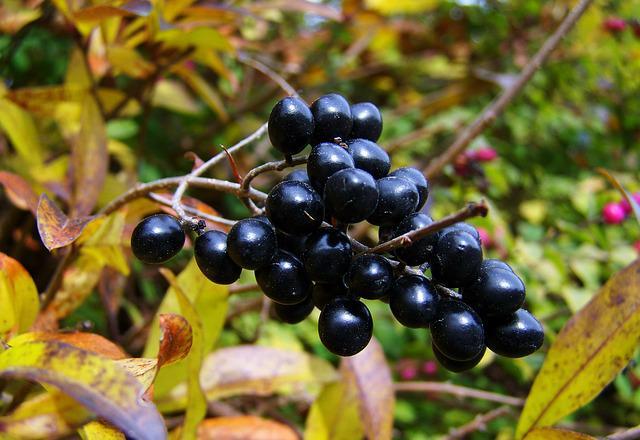 eye health berries