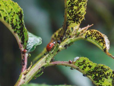RX-DK-RSG00801_lady-bug-plant_s4x3