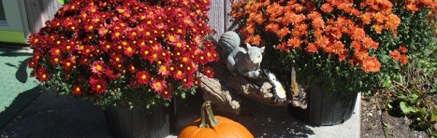 My Autumn Mums & Pumpkins