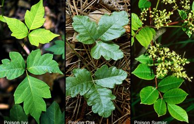 princ_rm_photo_of_poison_ivy_oak_and_sumac