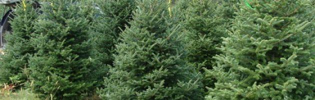 Live Christmas tree